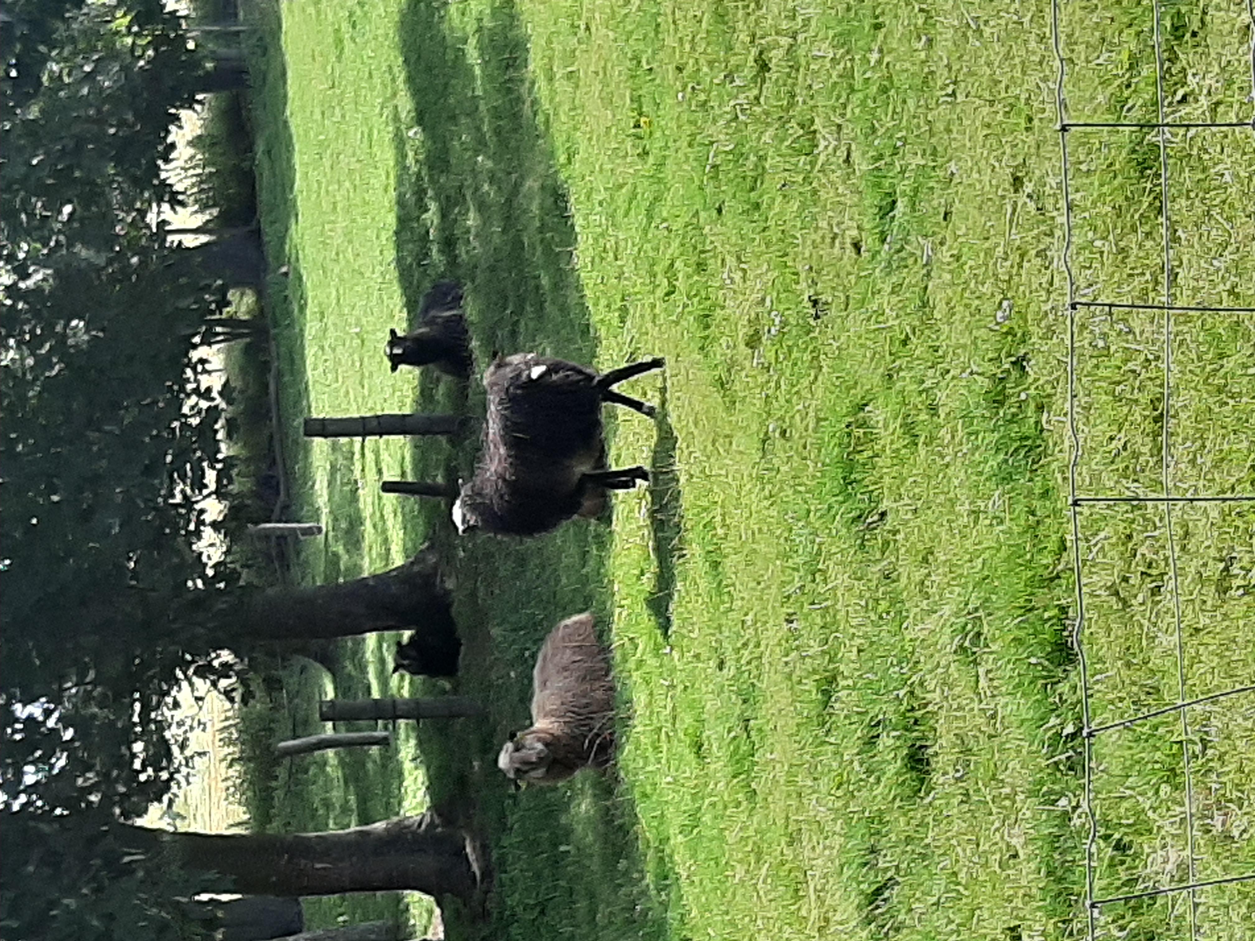 Schafe Tversted
