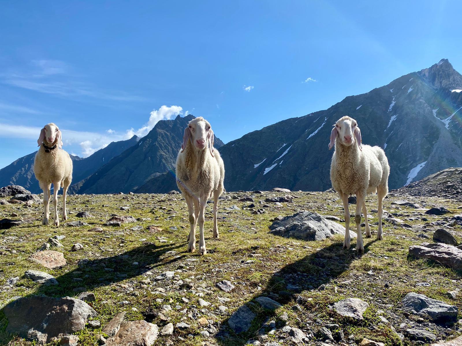 Schafe 2